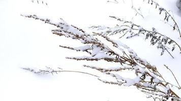 beau buisson dans la neige photo