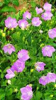 arbuste à fleurs bleues dans la conception d'un parterre de fleurs photo