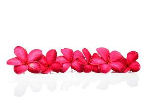 belles fleurs de frangipanier photo