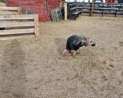 dinde de Thanksgiving à la ferme photo