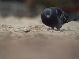 Libre d'un pigeon gris dans la plage photo