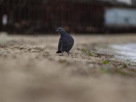 pigeon sur le sable près de la mer. un pigeon gris photo