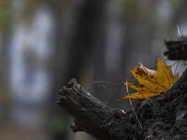 feuille d'érable jaune sur une souche d'arbre. feuillage d'automne dans la forêt photo