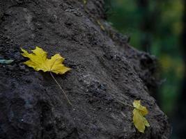 deux feuilles d'érable jaunes sur une souche d'arbre. feuillage d'automne dans la forêt photo