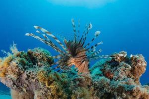 poisson-lion dans les poissons colorés de la mer rouge, eilat israël photo