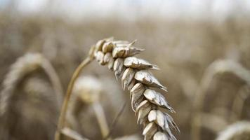 gros plan de tiges de blé doré, épi de grain. photo