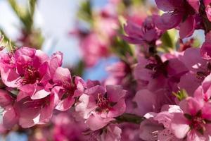gros plan de fleurs roses de pêches en fleurs. photo