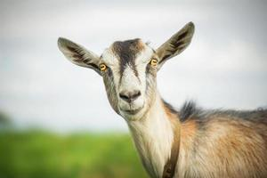 chèvre en été à l'extérieur dans la nature photo