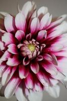 Fleur fleur macro dahlia pinnata famille compositae haute qualité photo