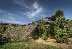 Vue de la culture des arbres de poivre de la ferme de poivre biologique à Kampot au Cambodge photo