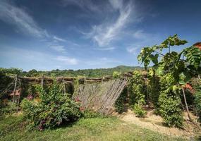 vignes de poivre poussant dans une ferme de poivre biologique dans la province de Kampot au Cambodge photo