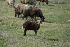 troupeau de moutons dans le domaine photo