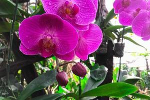 Fleur d'orchidée dans le jardin à l'orchidée phalaenopsis d'hiver photo