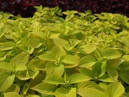 plante d'ortie coleus photo