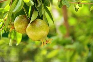 Grenade verte sur l'arbre, la culture des fruits dans le jardin photo