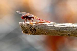 libellule cardinale Venerossa perchée sur une branche photo