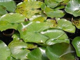 Nymphaea plante nénuphar dans un étang photo