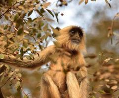 singe matriarche à longue queue photo