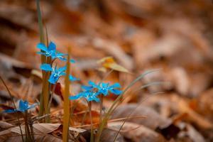 les fleurs bleues sont magnifiques et ressortent sur le fond marron. photo