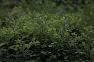 haie de mur de feuilles vertes en arrière-plan photo