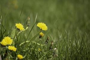 pissenlits jaunes sur l'herbe verte photo