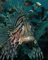 poisson-lion dangereux dans la mer. photo