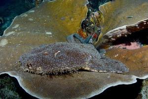 un requin tapis se repose sur un corail dur. photo