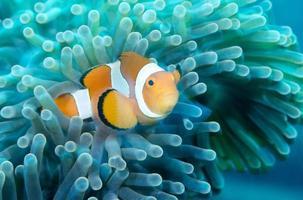 poisson clown. monde sous-marin incroyable. photo