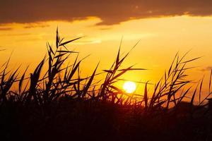 roseaux sur fond de coucher de soleil ensoleillé photo
