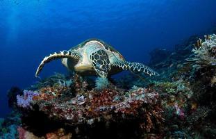 tortue imbriquée dans les récifs coralliens. photo