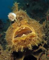 poisson grenouille hispide ou hirsute se cachant dans les ordures. photo