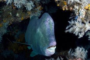 poisson perroquet géant se cachant à l'intérieur de l'épave de la liberté. photo