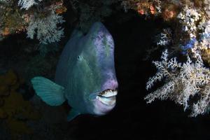 poisson perroquet géant à l'épave du Liberty Ship. photo