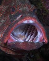 mérou de corail faisant le nettoyage. photo