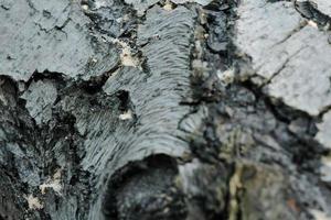 texture de tronc d'arbre de pin gris, gros plan d'écorce texturée grise photo