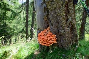 champignon orange sur arbre. dit ganoderma photo