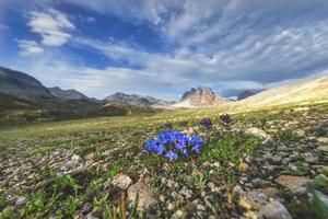 fleurs dans les montagnes sur les alpes suisses photo