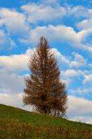 une épinette d'automne dans un pré avec ciel bleu et nuages photo