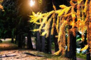 pin d'automne sur les alpes suisses photo