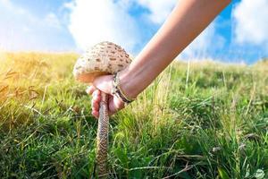 champignon macrolepiota procera pousse par la main de la femme photo