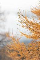 détail des branches de mélèze de couleur or en automne photo