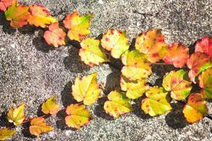 petites feuilles de lierre jaune et rouge sur le mur photo