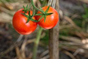 gros plan de tomates rouges sur le buisson photo