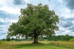 un seul chêne en Bavière est isolé sur un pré photo
