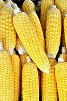maïs frais biologique photo