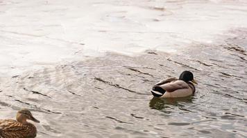 les canards marchent sur la fonte des glaces. la glace gelée photo