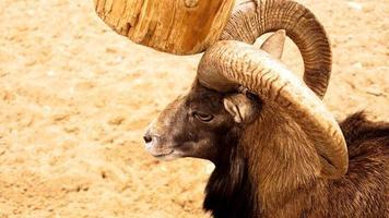 le mouflon gratte ses cornes contre un poteau de bois. photo