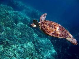 grosse tortue verte sur les récifs de la mer rouge photo