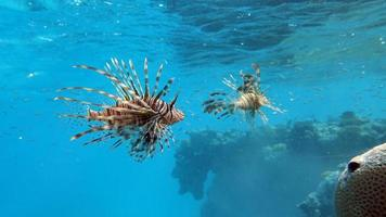 poisson lion dans la mer rouge photo