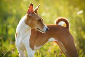 chien de chasse aux cheveux roux champ d'herbe verte photo